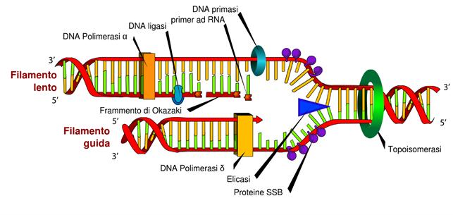 Duplicazione-del-DNA-attraverso-la-DNA-polimerasi